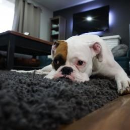 Dog lying on rug blue