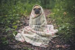 Pug in a blanket keeping warm