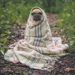 Pug in a blanket keeping warm